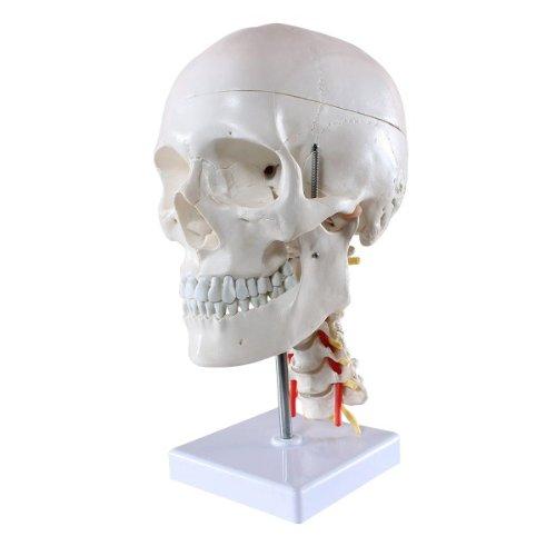 omical Human Skull Model, on Cervical Spine, w/ Nerve and Artery, on Stand (Skull Spine)