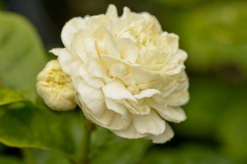Arabian Jasmine Plant''Grand Duke of Tuscany'' - Fragrant Plant - 6'' Pot by Thai Greenhouse (Image #7)