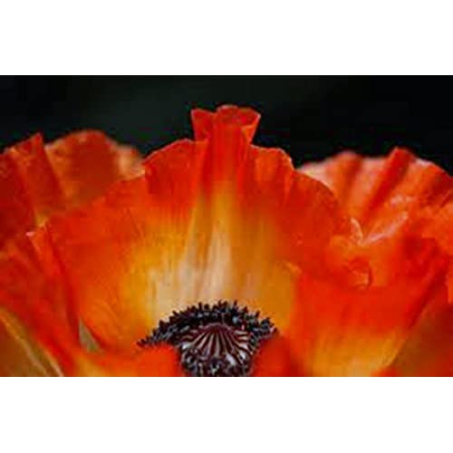 Poppy flanders 100 seeds organic stunning bright red flower poppy flanders 100 seeds organic stunning bright red flower great mightylinksfo