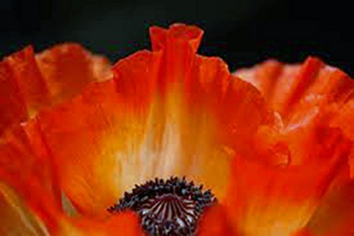 Poppy, Flanders, 100+ Seeds, Organic, Stunning Bright Red Flower, Great (Red Flanders Poppies)