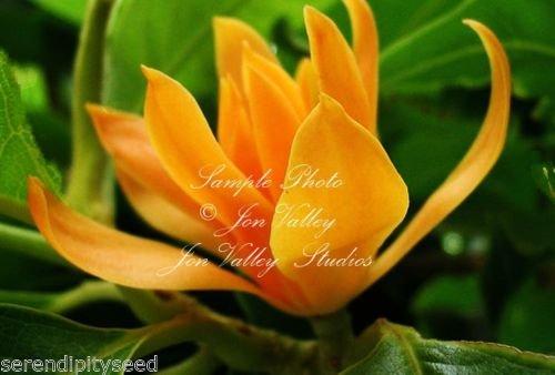 y Perfume Tree Seeds Magnolia Family Stunning Orange Blossom ()