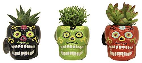 LiveTrends Design LTE 3-PK Skulls Living Plant