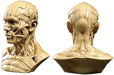 Beige TOYANDONA Kopf Anatomie Halbmenschliches Modell Handwerk Harz Sch/ädel Skulptur Kopf Muskeln Knochen f/ür medizinische K/ünstler Zeichnung Studium B/üro Bar Desktop Figur Dekoration