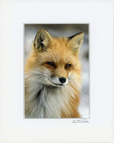 A O Tucker Artwork - 8 x 10 inch - Red Fox Close-up - Fine Art Photograph - Matted Print - Ready to Frame Nursery, Home & Office Decor