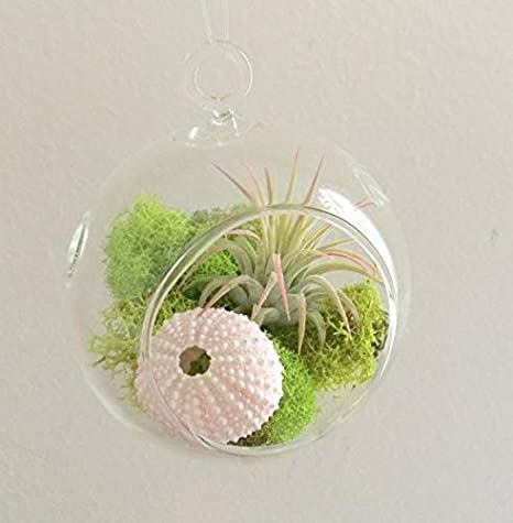 Amazon Com Air Plant Hanging Terrarium Clear Glass Kit With Moss