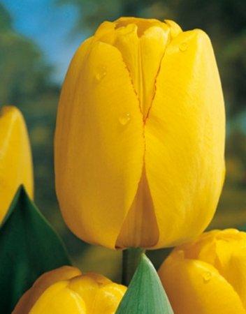 Tulip Golden Apeldoorn x 100 by Netherland Bulb