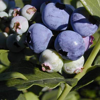 1 Starter Plant of Blueberry Plant Vaccinium Blue Ray High Bush Live Plant by Andryani (Image #1)