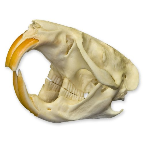 Real Muskrat Skull - Perfect by Skulls Unlimited International