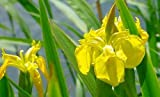 Yellow Flag Iris 15 Seeds-Iris pseudacorus-Aquatic