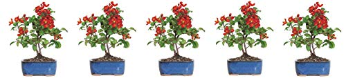 Brussel's Live Japanese Red Quince Outdoor Bonsai Tree - 3 Years Old; 10'' to 12'' Tall with Decorative Container (5-(Pack)) by  (Image #1)