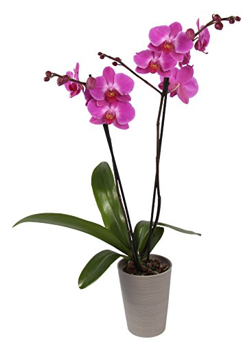 Color Orchids Live Double Stem Blume Orchid in Ceramic, 20-24'' Tall, Purple by Color Orchids