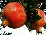1 Bare Root of Grenada Pomegranate Tree 7-8' (Well Branched Fruiting Size - Instant Orchard)