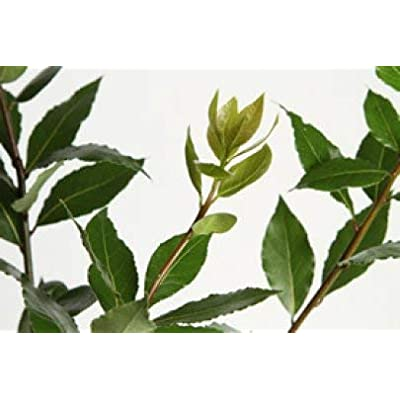 Bay Leaf (Bay Laurel) Tree- 2 Year Old 2-3 Ft Tall : Garden & Outdoor