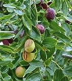 15 Seeds Jujube Plant, Chinese Date, Tsao Ziziphus Jujuba Spinosa Date Tree