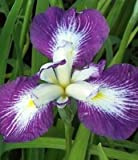 Iris Japonica, Picotee Wonder, Blue Purple, Perennial, Bare Root 2 small