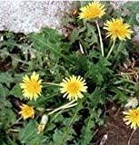 SD1500-0360 Taraxacum / Japan Leaf Dandelion Flower Seeds, Non-Genetically Modified Seeds (400 Seeds)