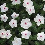 Outsidepride Periwinkle Bright Eyes - 2000 Seeds