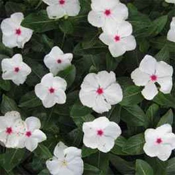 - Outsidepride Periwinkle Bright Eyes - 2000 Seeds