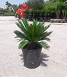 PlantVine Cycas revoluta, King Sago Palm, Cycad - 10 Inch Pot (3 Gallon), Live Indoor Plant - 4 Pack