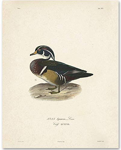 Anas Sponsa Duck Illustration - 11x14 Unframed Art Print - Great Home Decor -