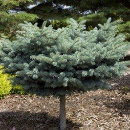 Globe Blue Spruce (Blue Spruce Globe on a STD> Picea pungens 'Globosa'> Landscape Ready 2 gallon)