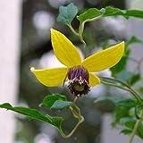 Clematis Vine Flower Seeds (Clematis Tangutica Aztek) 60+Seeds