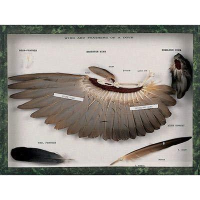 (T31005 - Description : 3B Scientific Dove SKLTON Stuffed Dove - Dove Skeleton and Stuffed Dove 2.75kg - Each)