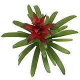 Costa Farms Flowering Bromeliad Guzmania Red, in
