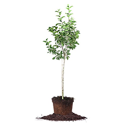 FUJI APPLE TREE - Size: 3-4 ft, live plant, includes special blend fertilizer & planting guide (Apple Trees Green)