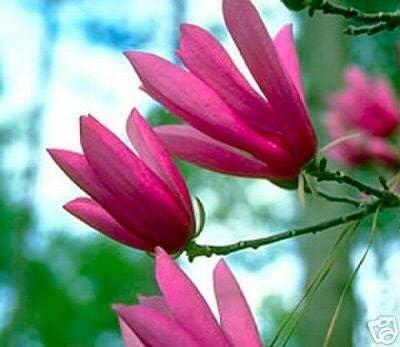 Amazon Com Ann Star Magnolia Tree Live Plant Shipped 1 To 2