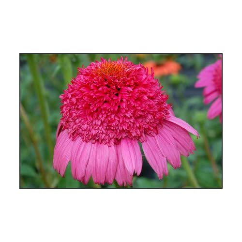 Gum Drop Coneflower 50 Seeds