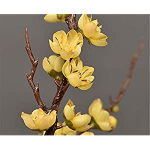 Skyseen 3Pcs Artificial Plum Blossom Branches Flowers Stems Silk Fake Wintersweet Arrangements for Home Wedding Decoration(Yellow) 3
