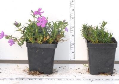 Classy Groundcovers - Phlox 'Purple Beauty' Creeping Phlox, Moss Phlox {25 Pots - 3 1/2 in.} by Classy Groundcovers (Image #6)