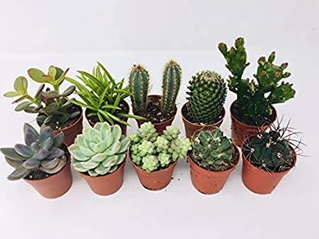 10 Mixed Indoor Plants 5 Succulents 5 Cactus Plants In 5 5cm Pots Indoor Plant Gifts Buy Online In Switzerland At Desertcart Ch Productid 105174416