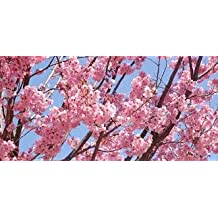 Malee Grow Rare Japanese Sakura Seeds Cherry Blossom Seeds Bonsai Plants For Home & Garden 10 Kinds Of Grain / Bag