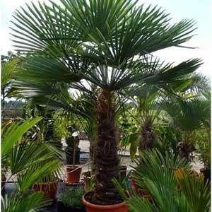 palmier trachycarpus en pot
