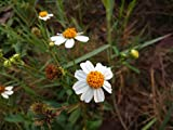 20 Bidens pilosa Seeds, Common beggar tick, Spanish Needle Seeds
