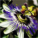 Package of 10,000 Seeds, Royal Blue Passion Flower (Passiflora caerulea) Non-GMO Seeds by Seed Needs