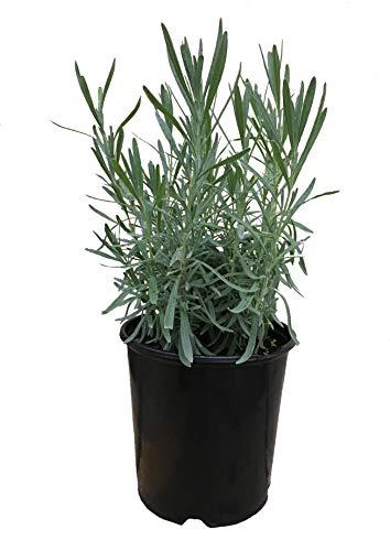 Lavender Grosso, 18121 Lavandula A. 'Grosso' 1 ()