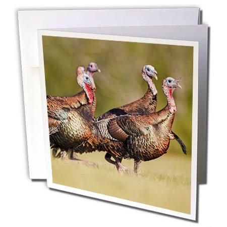 3dRose Danita Delimont - birds - Wild Turkey, Meleagris gallopavo, male - 1 Greeting Card with envelope (Greeting Turkey)