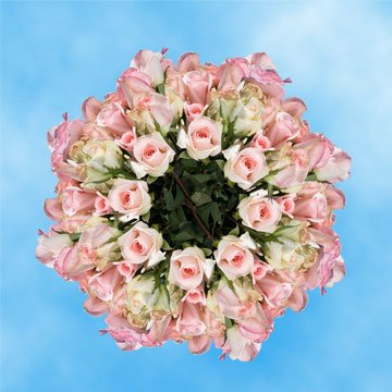 GlobalRose 250 Fresh Cut Pastel Roses - Light Orlando Roses - Fresh Flowers Wholesale Express Delivery