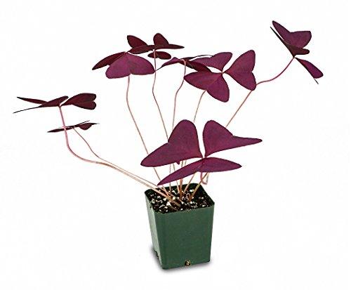 Oxalis regnellii 'Francis'-Purple Shamrock by Josh's Frogs