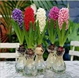 Hyacinthus orientalis daffodils seeds hydroponic bonsai home garden flowers Seeds