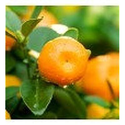AchmadAnam - Tree - Murcott Orange, 3-4 Year Old (3-3.5 Ft), Potted, 3 Year Warranty. E2 : Garden & Outdoor