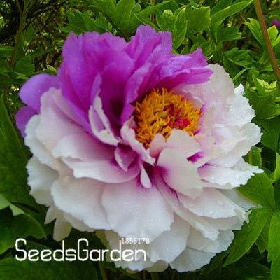 Kasuki Sale!Chinese Rare and Precious Species of Blue Peony Flower Bonsai 10 Pcs/lot,#5H5HCL - (Color: 19) by Kasuki