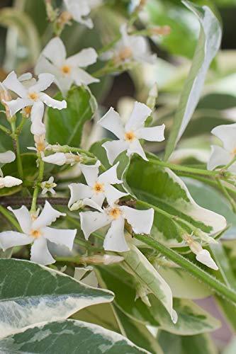 Confederate Jasmine Variegated - 30 Live Plants - Trachelospermum Jasminoides Variegatum - Fragrant Blooming Evergreen Vine by Florida Foliage (Image #2)