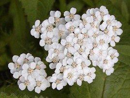 (50+ Pure White Achillia