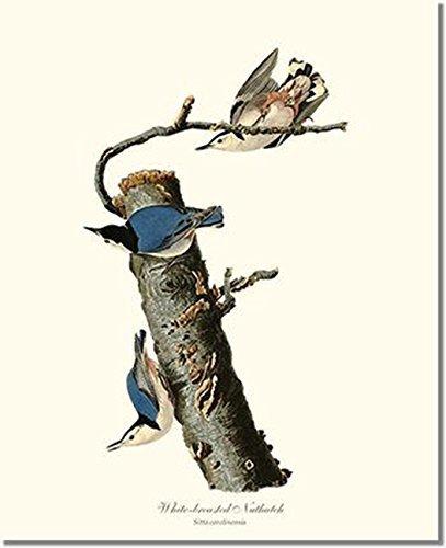 Bird Print Audubon Vintage Art: White Breasted Nuthatch