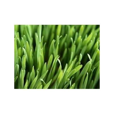 Kentucky Blue Grass, Improved V.N.S. Seed Blend - 1 Pound - Wizard Seed LLC : Grass Plants : Garden & Outdoor