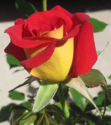 10 Seeds Yellow Red Rose Flower Bush Perennial Shrub Garden Home Exotic Garden ()